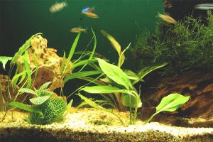 Как избавиться от черной бороды в аквариуме