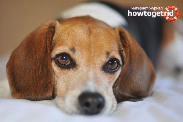 Что делать, если у собаки урчит в животе