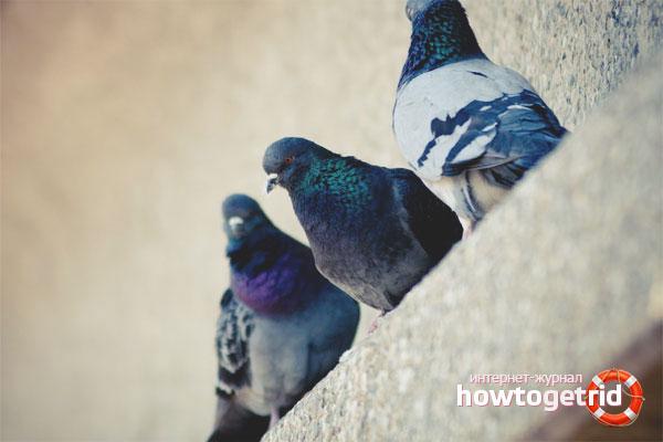 Как избавиться от голубей на балконе, подоконнике и крыше
