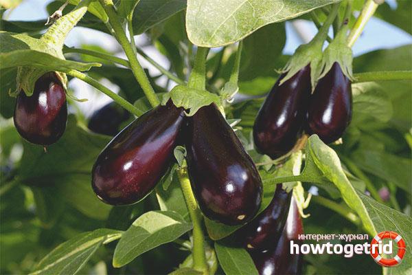 Как правильно вырастить рассаду баклажан