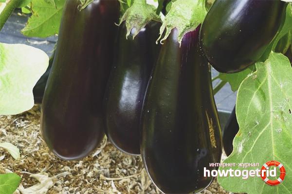 Как вырастить баклажаны в теплице