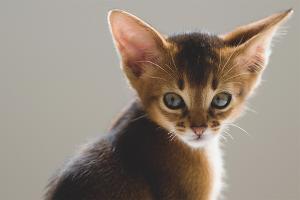 Как чистить уши котенку