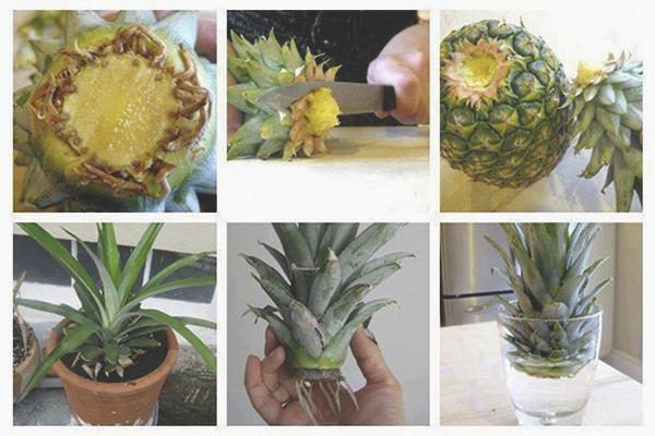 Выращивание ананаса из верхушки