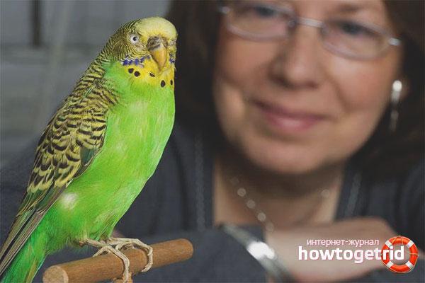 Дрессировка попугаев