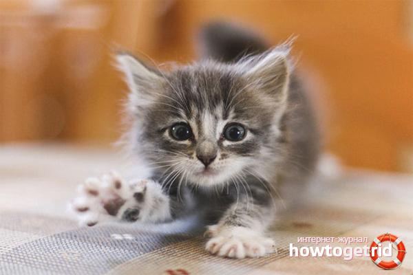 Как определить возраст котенка
