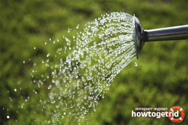 Как поливать азалию