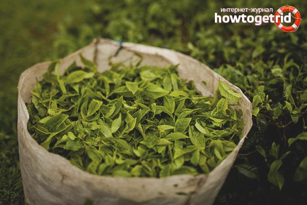 Как вырастить чай