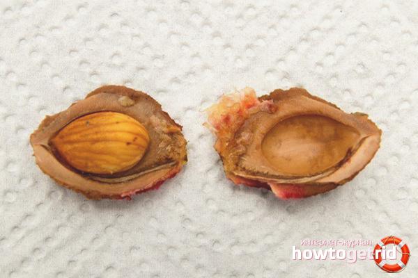 Секреты успешного проращивания персиковой косточки