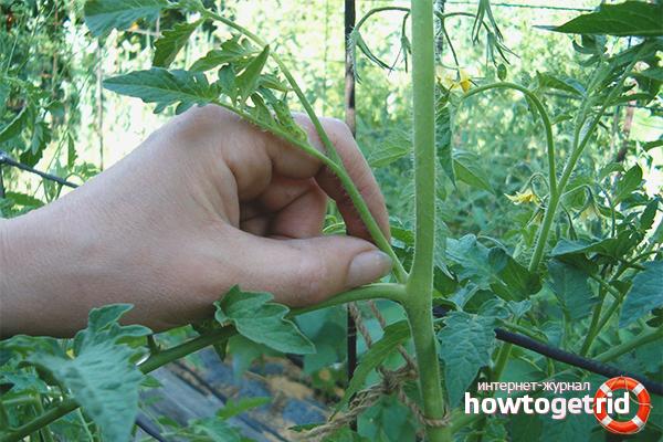 Пасынкование помидор в тепличных условиях