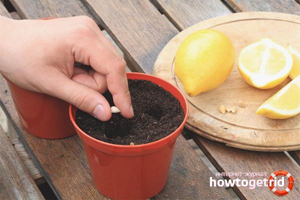 Процесс высадки лимона