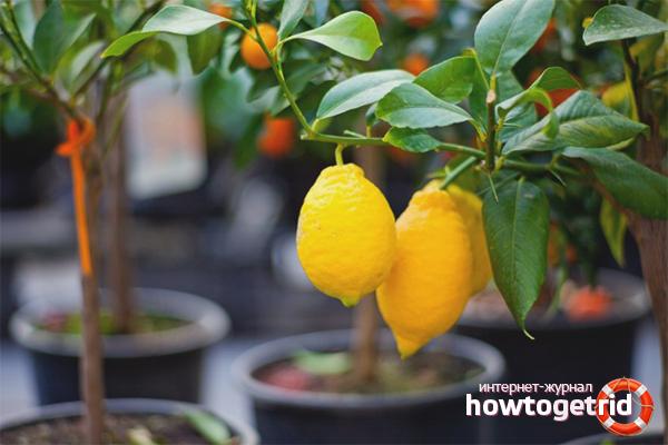 Выращиваем плодоносящий цитрус