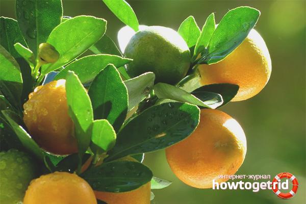 Как поливать мандариновое дерево
