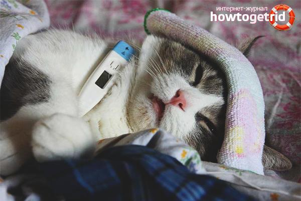 Как сбить температуру у кошке