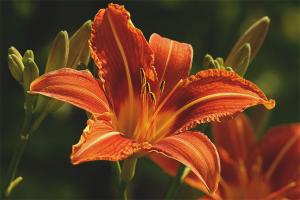 Как ухаживать за садовыми лилиями