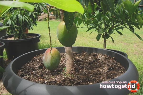 Как вырастить манго на приусадебном участке