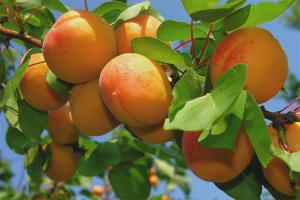 Как из косточки вырастить абрикос