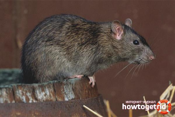 Как избавиться от крыс в курятнике: проверенные методы