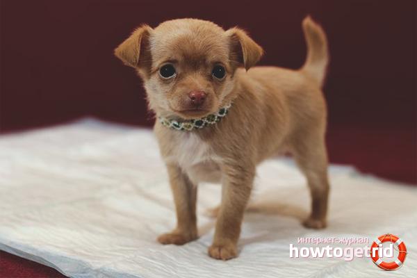Как приучить щенка ходить на пеленку