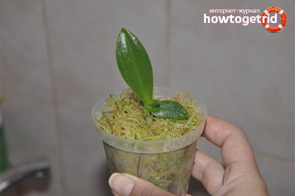 Размножение орхидеи черенкованием
