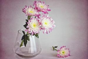 Как сохранить хризантемы в вазе подольше