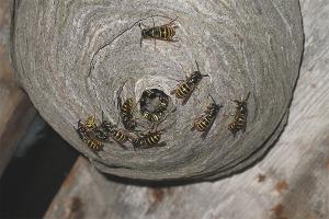 Как уничтожить гнездо шершней