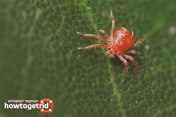 Как избавиться от паутинного клеща в теплице