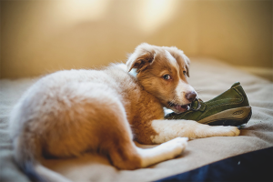 Как отучить собаку грызть вещи