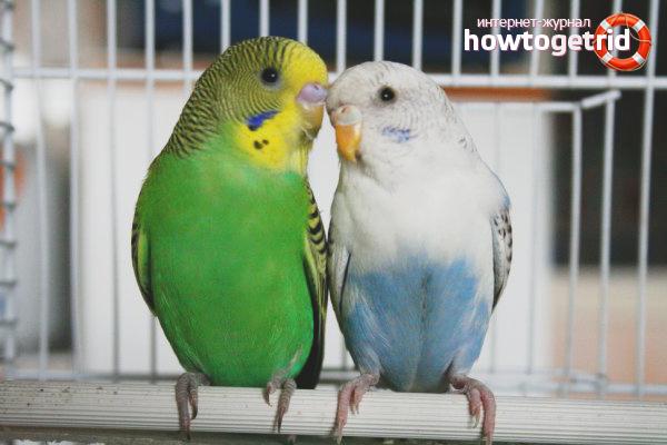 Как разводить волнистых попугаев