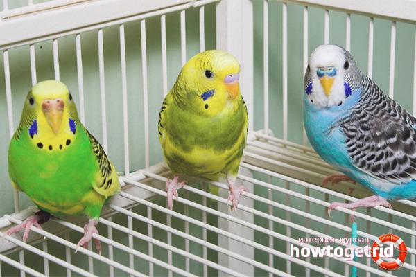 Как быстро загнать попугая в клетку