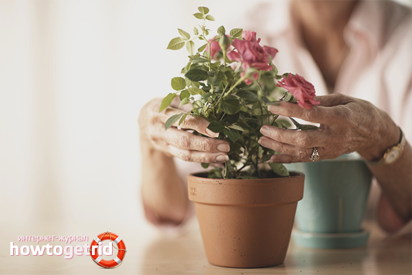 Как правильно ухаживать розой в домашних условиях