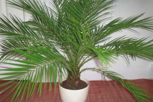 Как вырастить финиковую пальму из косточки