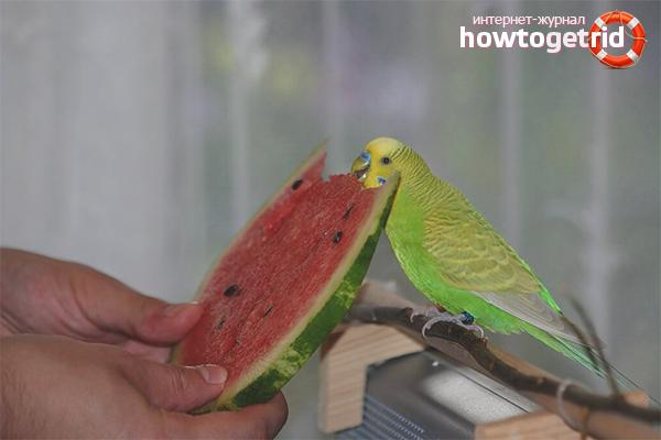 Как правильно кормить волнистого попугая