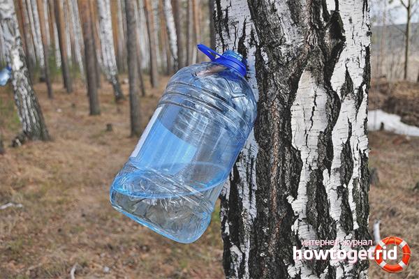 Как собирать березовый сок