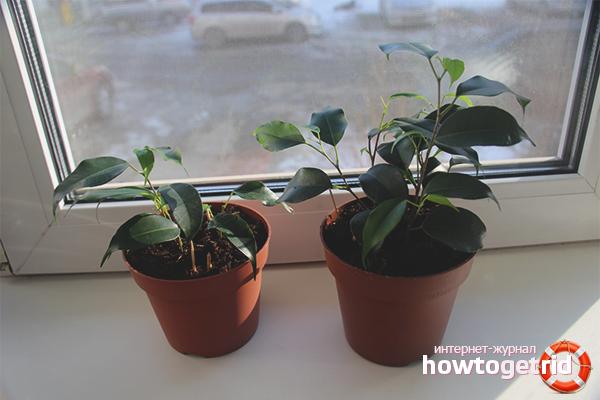 Как вырастить фикус в домашних условиях