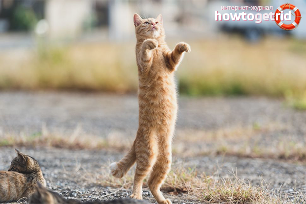 Как научить кошку стоять на задних лапах