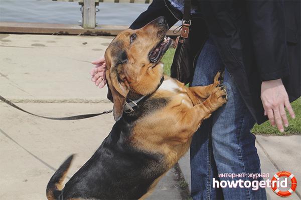 Как отучить взрослую собаку прыгать на хозяина
