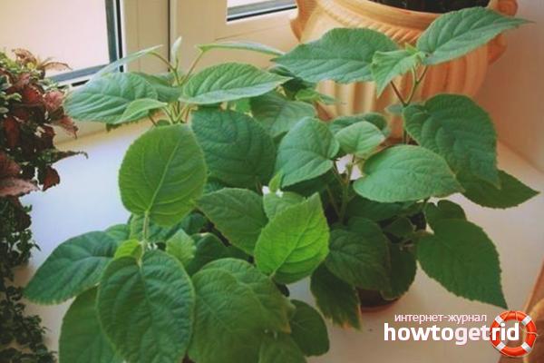 Как вырастить киви в домашних условиях