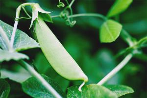 Как вырастить горох в открытом грунте