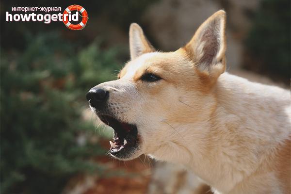 Отучаем собаку лаять на других собак