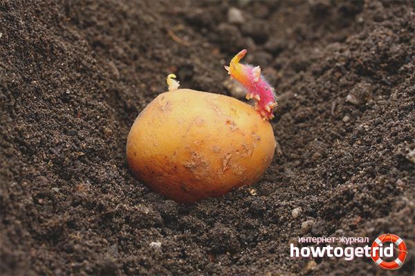 Выбор картошки для посадки