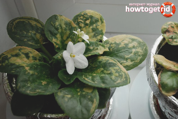 Как заставить цвести фиалку в домашних условиях