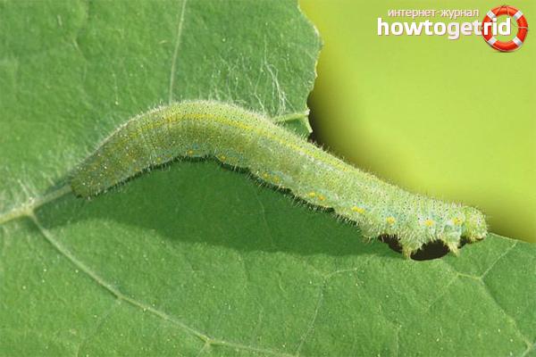 Как избавиться от гусениц на капусте: 5 способов