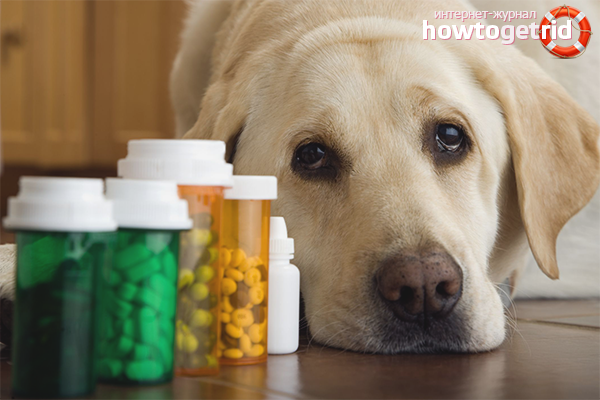 Как правильно дать собаке таблетку от глистов