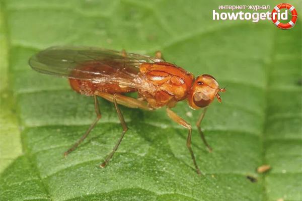Как избавиться от морковной мухи на грядках
