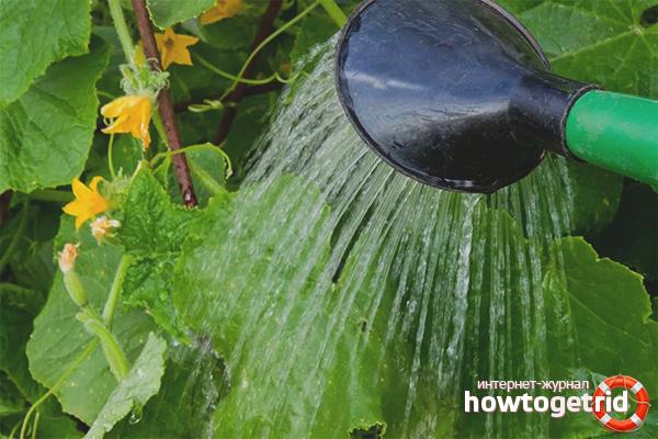 Как правильно поливать огурцы