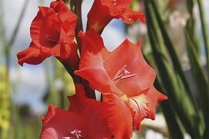 Как правильно посадить гладиолусы весной