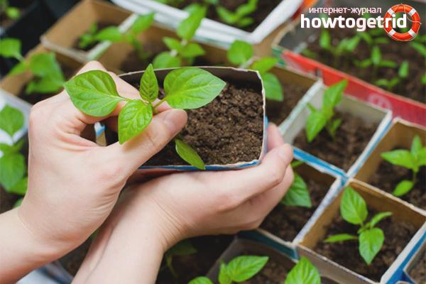 Как правильно вырастить рассаду сладкого перца