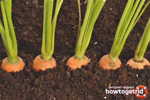 Как сажать морковку весной