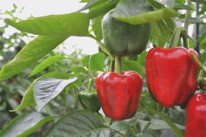 Как вырастить болгарский перец