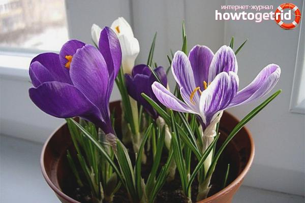 Как вырастить крокусы в домашних условиях